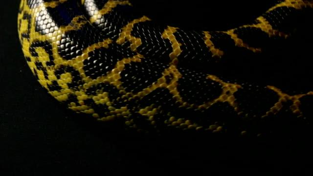 Crawling yellow anaconda in studio video