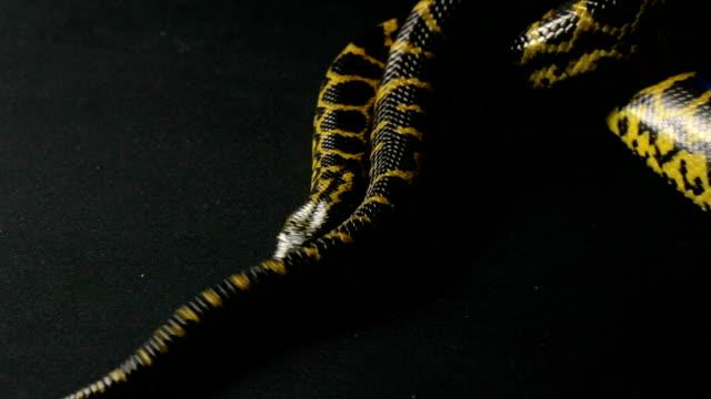 Crawling yellow anaconda video
