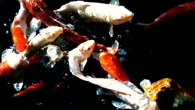 stockvideo's en b-roll-footage met rivierkreeftjes of fancy carp zwemmen en eten in het water - carp