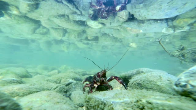 Crayfish underwater on pebbles video