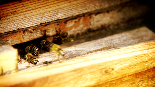 Crazy bees traffic near beehive: insects entering and leaving their house video