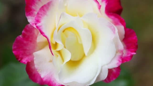 closeup-pink-videos