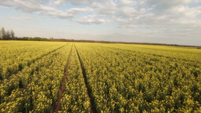 creative aerial shot of canola rapeseed flower blooming in farmland at sunset. fpv drone proximity flying authentic shot. - canola video stock e b–roll