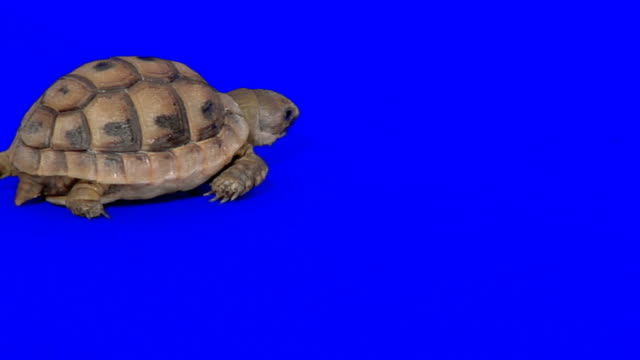 Creeping turtle on blue background Creeping turtle turtle stock videos & royalty-free footage