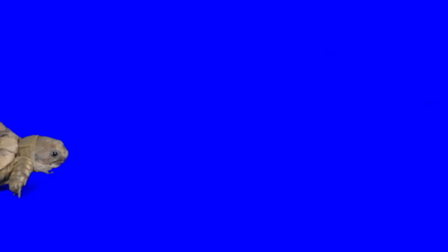 Creeping turtle on blue background Going turtle turtle stock videos & royalty-free footage