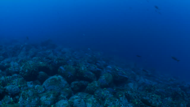 Creole fish schooling in undersea reef, Galapagos Galapagos Islands, Ecuador - May 8, 2018 : Underwater sea life at Galapagos (2018_0428_0520-05-08_094758) ocean floor stock videos & royalty-free footage