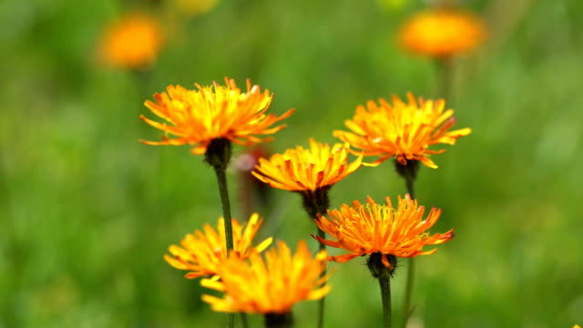 Crepis, commonly known in some parts of the world is a genus of annual and perennial flowering plants of the family Asteraceae. video