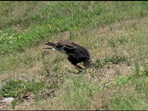 Crested Caracara Stealing Eggs