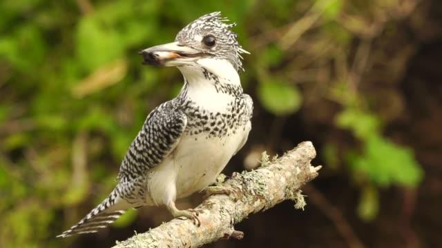 vídeos de stock e filmes b-roll de crested kingfisher (megaceryle lugubris) kunashir island - swiss army knife