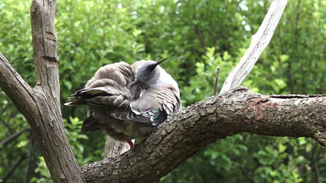 Crested pigeon sit on a tree video