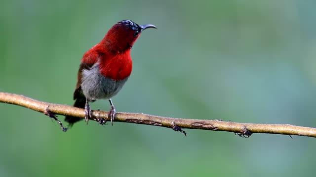 crimson sunbird - djurlem bildbanksvideor och videomaterial från bakom kulisserna