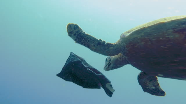 vídeos de stock e filmes b-roll de critically endangered hawksbill sea turtle rescued from eating plastic garbage in ocean - tote bag