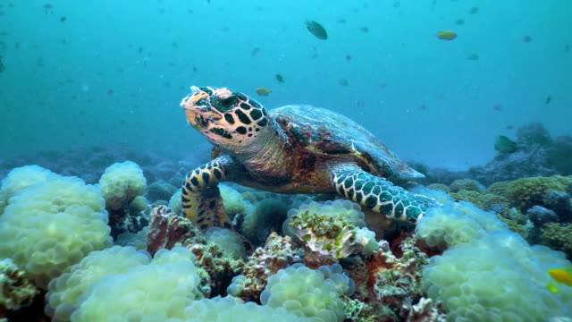 Kritisch gefährdete Art Hawksbill Sea Turtle (Eretmochelys imbricata) beim Verzehr eines Unterwasserkorallenriffs – Video