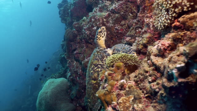 Critically Endangered species Hawksbill Sea Turtle (Eretmochelys imbricata) resting underwater on coral reef