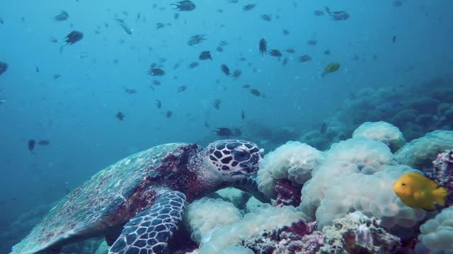 Kritisch gefährdete Arten Hawksbill Turtle (Eretmochelys imbricata) Unterwasser fressende Korallen – Video