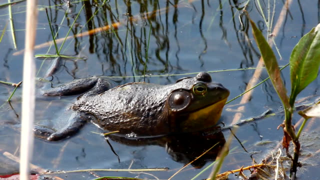 Croaking American Bullfrog, Lithobates catesbeianus video