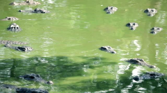 krokodil alligator - platypus bildbanksvideor och videomaterial från bakom kulisserna
