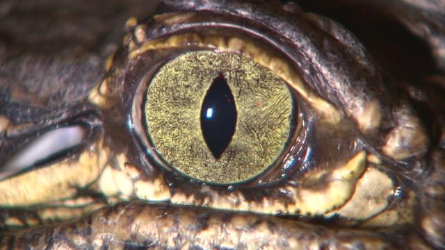 クロコダイルのクローズアップ - 動物の身体各部点の映像素材/bロール