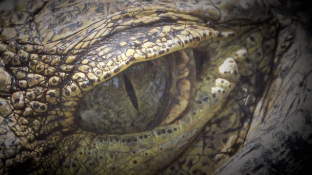 4K: crocodile closes and opens the eyes
