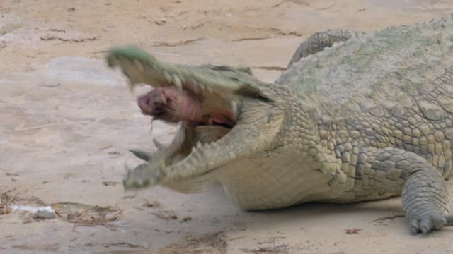 vidéos et rushes de crocodile mangeant sa proie - alligator