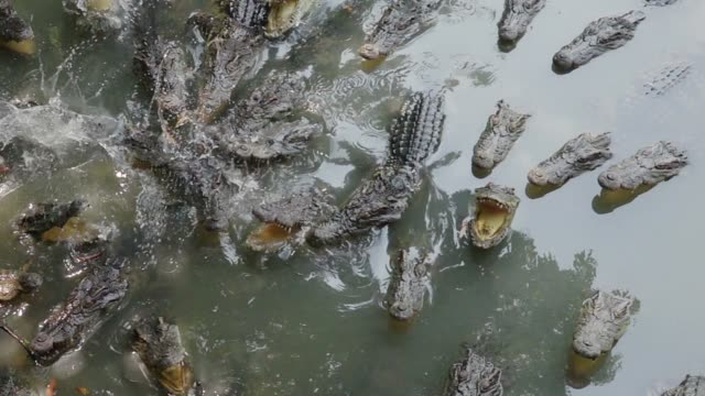 vidéos et rushes de manger de crocodile - alligator