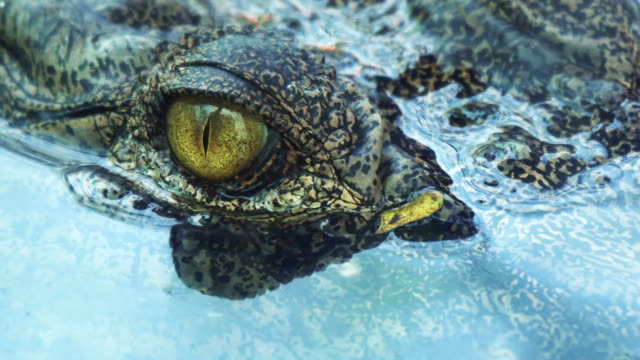 crocodile eyes will blink or close the eyes when diving. - болото стоковые видео и кадры b-roll