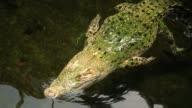 istock Crocodile gently swimming away 1128406807