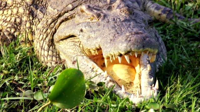 Crocodile head. Safari. Africa. video