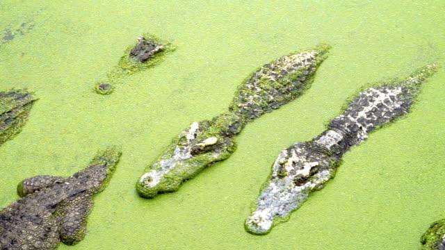 vídeos de stock e filmes b-roll de crocodile in the pool - boca suja