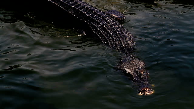 Crocodile in the water video