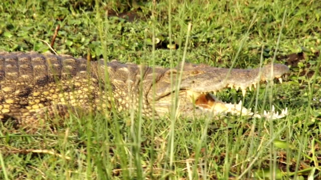 Crocodile lying on the grass video