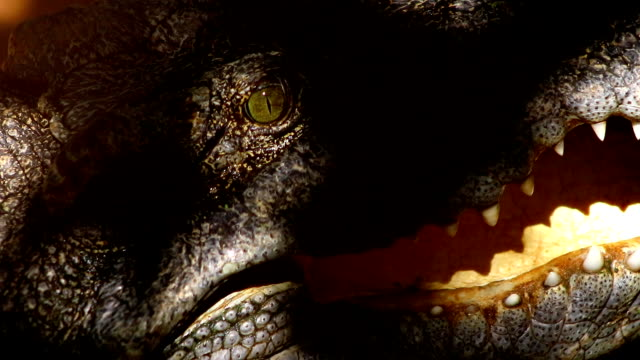 Crocodile mouth open close-up Crocodile mouth open close-up mouth open stock videos & royalty-free footage