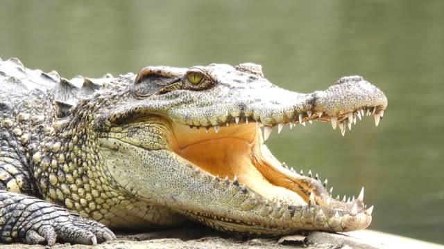 Crocodile opening a mouth video