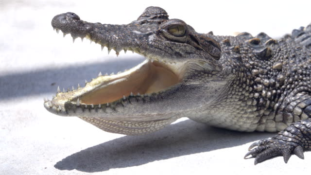 4K: Crocodile opening a mouth Video of Crocodile opening a mouth. 4K(UHD) 3840x2160 format. mouth open stock videos & royalty-free footage