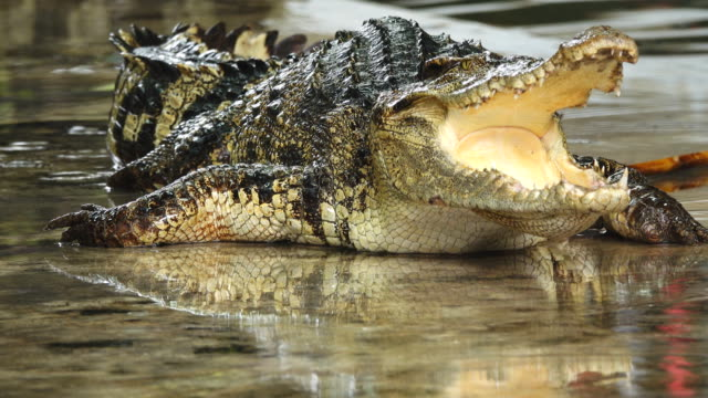 crocodile show. - wrestling stock videos and b-roll footage