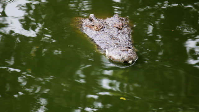 Crocodile swim in the water video