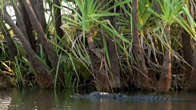 crocodile swimming and submerging video