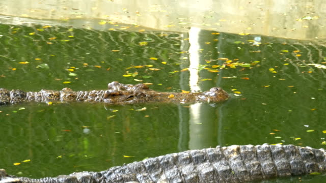 Crocodile Swims in the Green Marshy Water. Muddy Swampy River. Thailand. Asia video