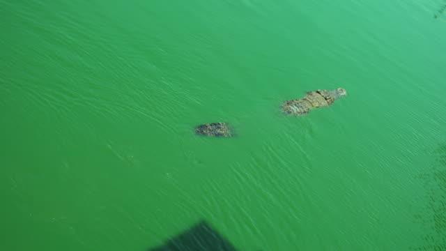krokodil simmar i gröna sanka vattnet - pattaya bildbanksvideor och videomaterial från bakom kulisserna