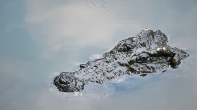 Crocodile Swims in the pond. Crocodile Swims in the pond. swamp stock videos & royalty-free footage