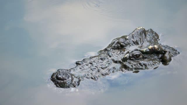 crocodile swims in the pond. - болото стоковые видео и кадры b-roll