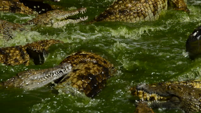 vidéos et rushes de crocodile - alligator