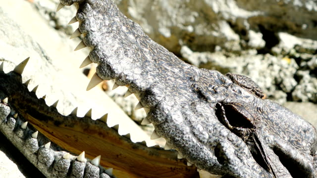 Crocodile Close-up shot of crocodile. reptile stock videos & royalty-free footage