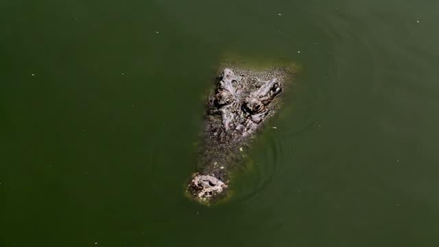 Crocodiles fighting video