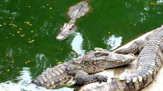 timsahlar su yeşil renk yalan. çamurlu bataklık nehir. tayland. asya - etçiller stok videoları ve detay görüntü çekimi