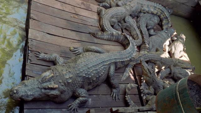 Crocodiles on crocodile farm on lake Tonle Sap in Cambodia video