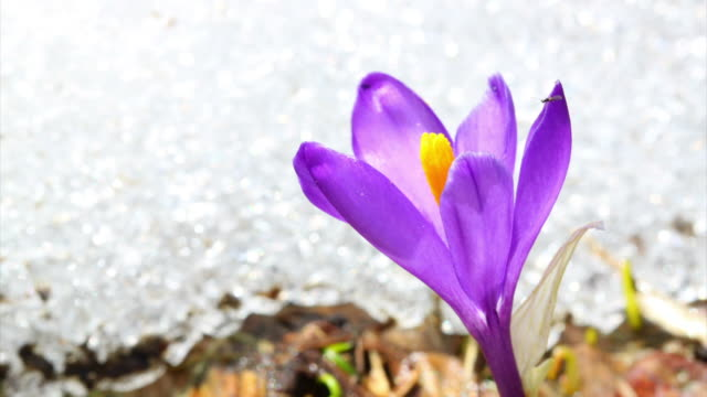 Crocus and melting show HD video