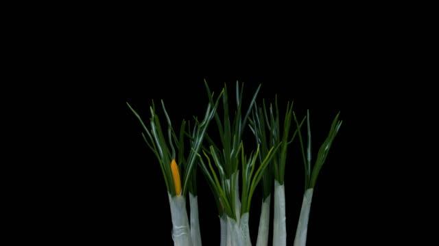 vidéos et rushes de crocus floraison time lapse - crocus