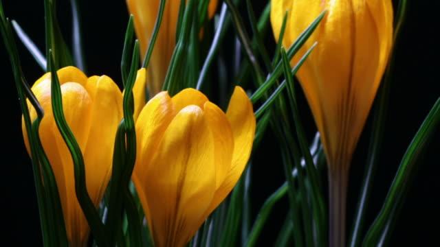 vidéos et rushes de fleur crocus - crocus