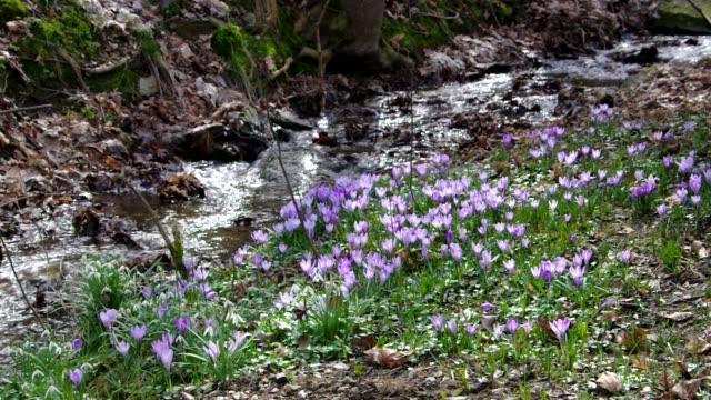 Crocus flowers and creek in Drebach, Saxony video